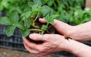 4 способа посадки клубники: в чем их плюсы и минусы