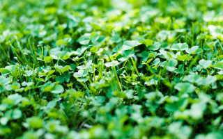Использование сидератных растений после сбора урожая овощей