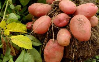 Картофель сорта Манифест: как выращивать и ухаживать