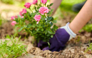 Осенняя посадка роз в открытый грунт. Мой опыт — все нюансы и полезные советы