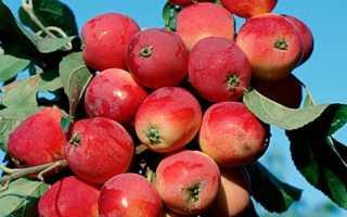 Яблоня-китайка: большие преимущества маленьких яблок