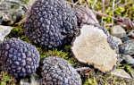 Гриб трюфель: основные виды и полезные свойства