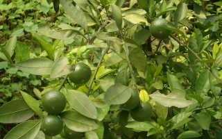 Грейпфрут: все о выращивании, уходе и размножении цитрусового