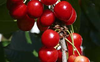 Вишня Шалунья ‒ неприхотливый сорт восхитительных ягод