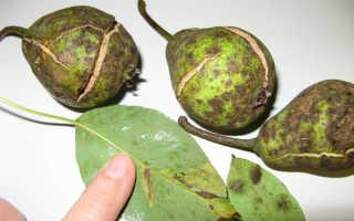 Профилактика и борьба с разными видами болезнями груши
