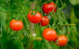 Подвязывание помидоров в открытом грунте: как правильно