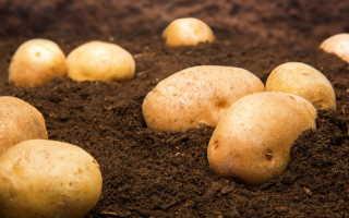 Способы посадки картофеля — варианты на любой вкус и возможности