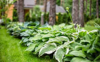 Как посадить и вырастить хосту