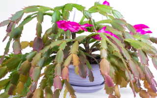 Декабрист: главные советы для прекрасного цветения
