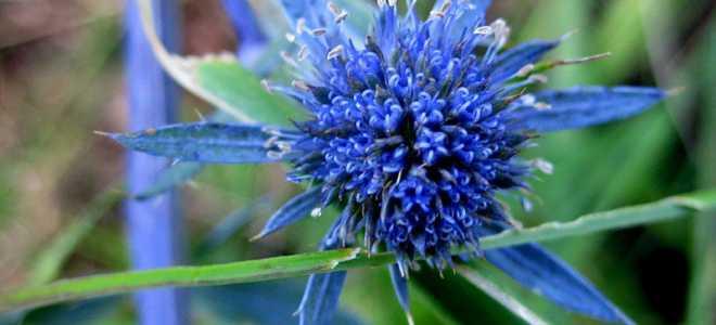 Голубой репейник синеголовник: все о растении, посадке и уходе