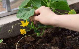 Сложности с огуречными плантациями: типичные ошибки начинающих огородников