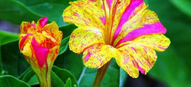 Мирабилис: уникальные свойства цветка, выращивание и уход