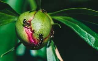 Как вывести муравьев на дачном участке