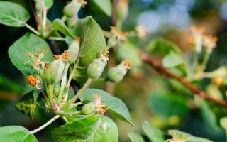 На груше и яблоне летом желтеют листья — причины и что делать