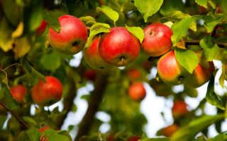 Подкормка и удобрение плодовых деревьев вашего сада