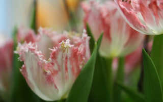 Махровые (пионовидные) тюльпаны: описание 7 лучших сортов