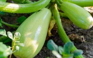Выращивание кабачков: посадка и уход в вегетационный период