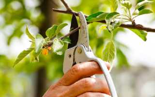 Обрезка яблони и груши для начинающих