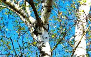 Почему нельзя сажать березу возле дома: обоснованные причины и суеверия