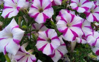 5 красивых однолетников, которые цветут все лето