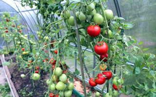 Проблемы урожайности тепличных томатов: почему возникают и как бороться