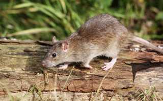 Уничтожаем мышей на садовом участке