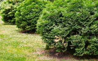 Быстрорастущая живая изгородь: выбор растений, посадка