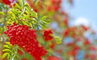 Красноплодная рябина и арония: одни вредители и болезни на двоих