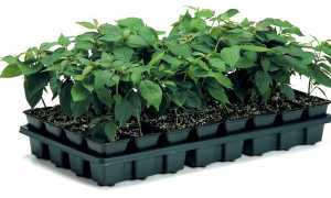 Рассада, условия проращивания семян