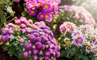 Выращивание хризантем на садовом участке: посадка и уход