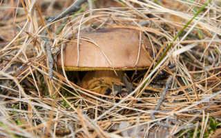 Польский гриб (моховик): описание, правила сбора