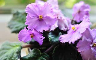 Выращивание фиалок: простые, но эффективные подкормки, доступные в домашних условиях