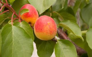 Как я обрезаю свои абрикосы осенью. Не игнорируйте важное мероприятие и четко следуйте правилам — о них и рассказываю