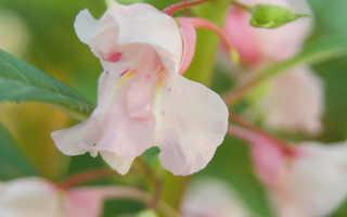 Бальзамин — эффектный и неприхотливый цветок