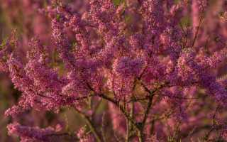 Тамарикс изящный и ветвистый: уход за декоративным деревом