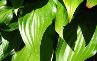 Уход за хостой: советы по выращиванию, поливу, подкормке