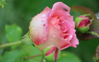 Как подготовить розы к зиме, чтобы получить шикарные цветы на будущий год