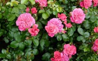 13 сортов роз раннего цветения