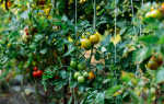 5 грубых ошибок при выращивании томатов. Как все исправить