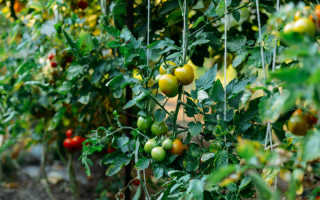 Выращивание томатов по методу Казарина — соблюдение «сухого закона»