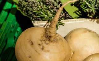 Как вырастить репу из семян