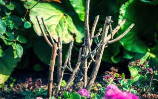 Секреты успешной покупки качественного саженца розы
