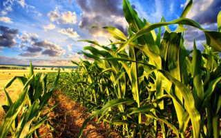 Собираем урожай кукурузы: как определить зрелость и правильно снять плоды