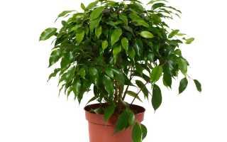 Причины чрезмерного опадания листвы фикуса Бенджамина