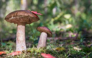 Основные виды подберезовиков — что вкусненького поискать в лесу
