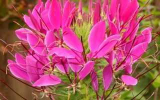 Растение клеома (Cleome spinosa L), сорт Цветные фонтаны