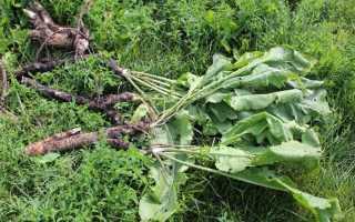Как вывести хрен с огорода: сложности, эффективные методы