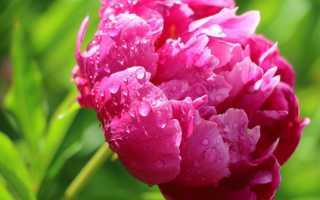 Факторы, негативно влияющие на цветение пионов