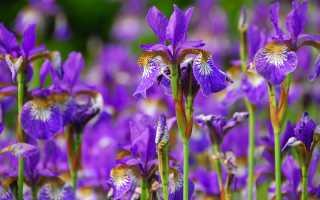Иберис для рокария, ирисы для рабатки. Какие цветы использовать в оформлении клумб