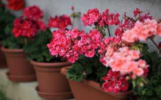 Как продлить цветение герани и предотвратить болезни
